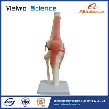 High quality advanced pvc knee joint anatomical model knee for high quality advanced pvc knee joint anatomical model knee for medical teaching ccuart Images