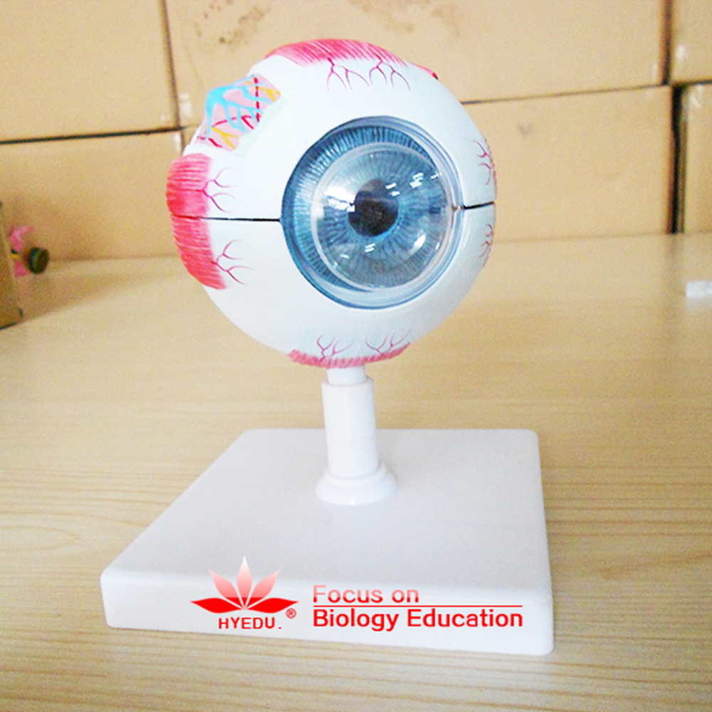 Direct factory saling Advanced Enlarged Eyeball <strong>model</strong> anatomical Eye <strong>model</strong>