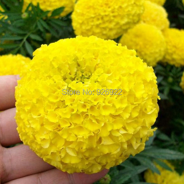 Potted flower seeds Tagetes erecta, yellow aztec marigold, chrysanthemum seeds cellular,about 50 particles