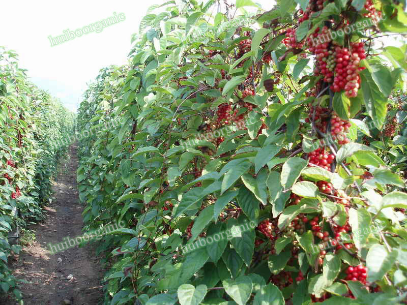 Where to buy schizandra berry