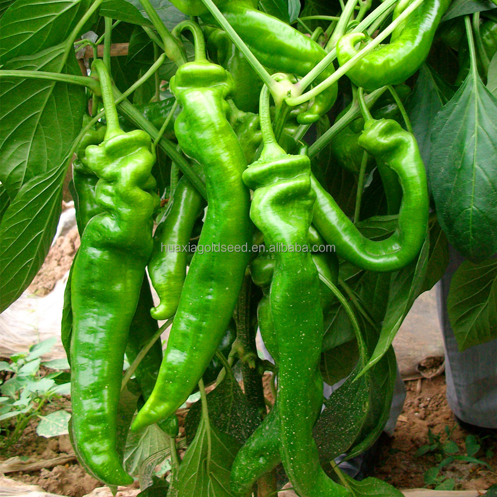 Hybrid F1long hot pepper seeds prices chilli seeds