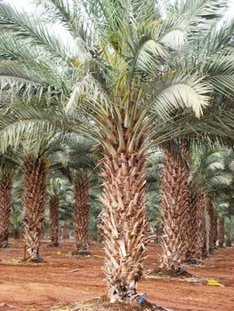 Medjool Giant Edible Date Palm Tree Phoenix Dactylifera 30 Fresh