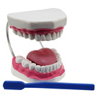 Medical dental care tooth hygiene model with tooth brush