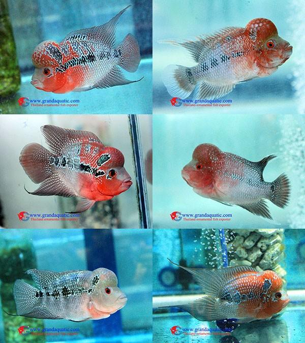 Live Aquarium Tropical Fish From Thailand Exporter Company