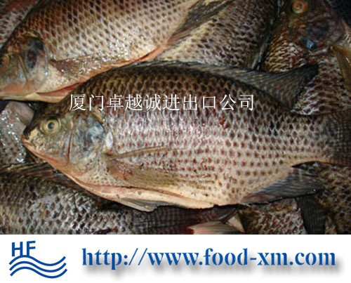 Frozen Live Tilapia Fish On Sale