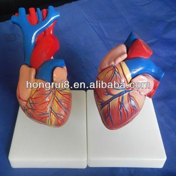 Iso Neuen Stil Lebensgroße Herz Anatomie Modell,Herz 3d Modell - Buy ...
