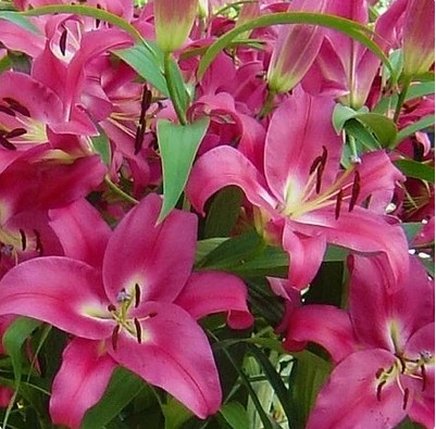 potted lily seed Desktop balcony plants flower seeds 10 pcs