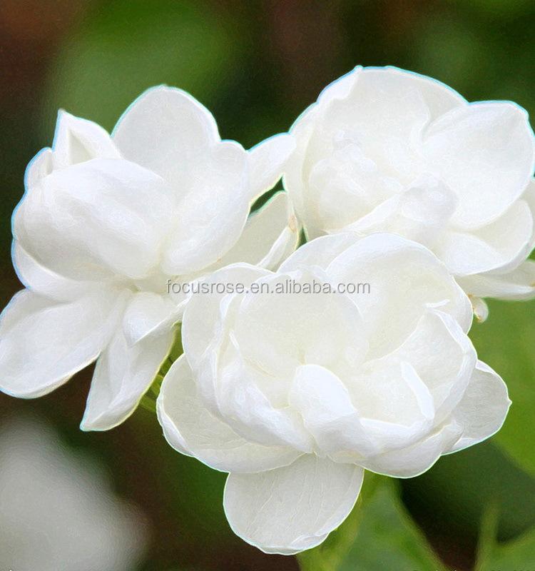 high quality top sell jasmine flower export buy jasmine flower