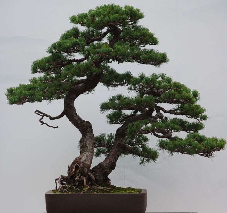 Wholesale Chinese Natural Plant Pinus Parviflora Bonsai Buy China Import Natural Plant Pinus Parviflora Bonsai Pine Bonsai Pinus Parviflora Bonsai Product On Alibaba Com