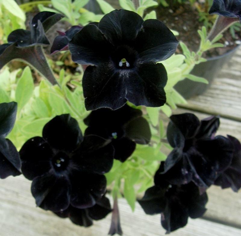Black Petunia Seeds For Growing