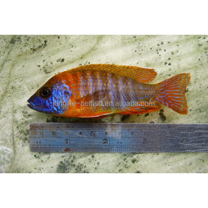 Beautiful And Colorful Aquarium Malawi Cichlid Aulonocara Spec. Rubin Red Firebird