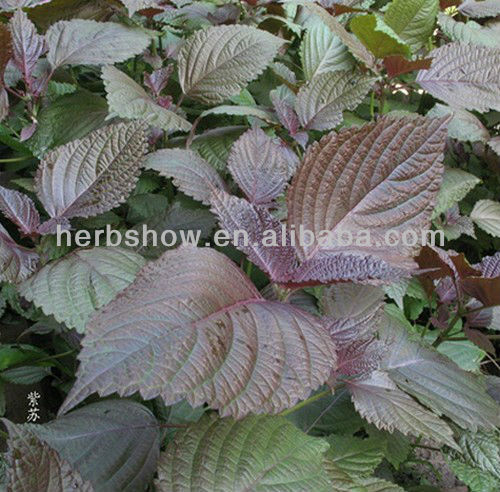Herb plant Shiso seeds for planting
