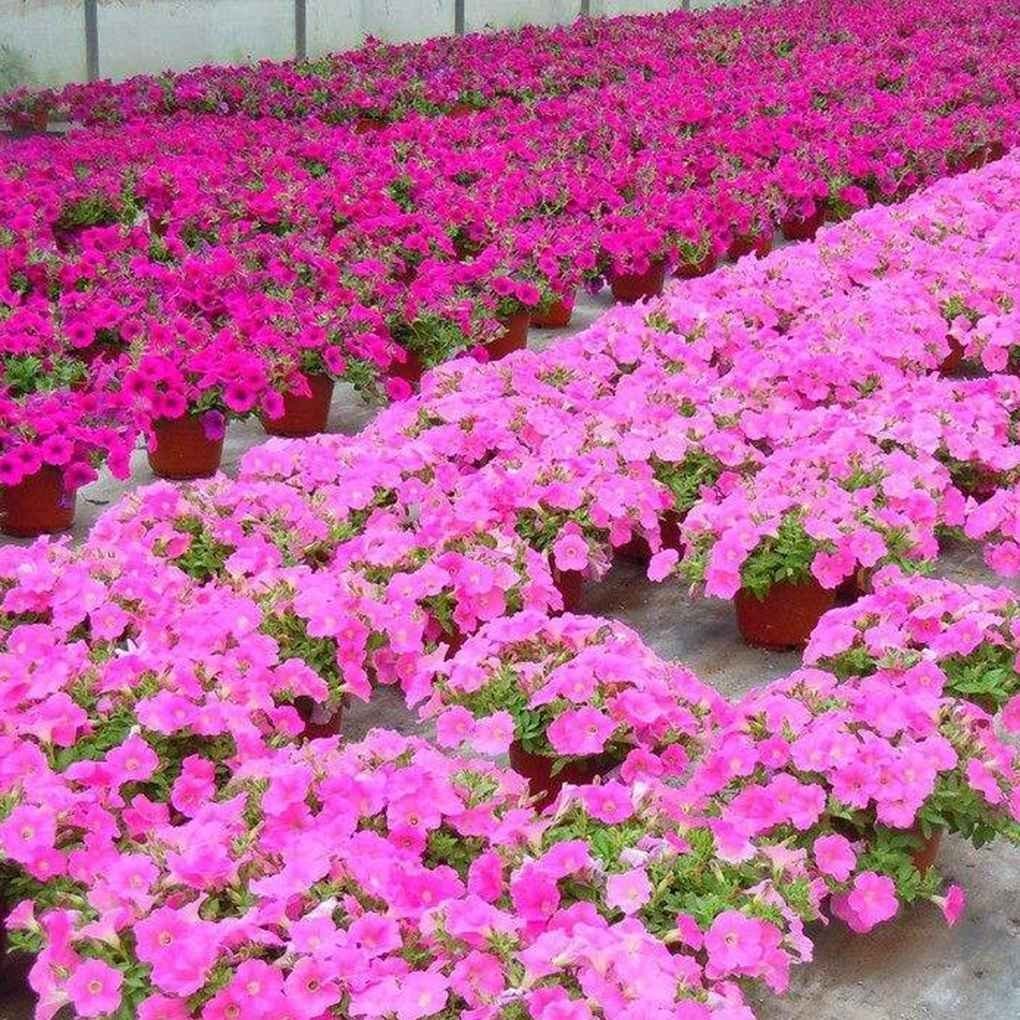 Cheap planting flower seeds outdoors find planting flower seeds get quotations 100pcsbag petunia flower seeds hanging potted bonsai home garden planting seeds regard izmirmasajfo