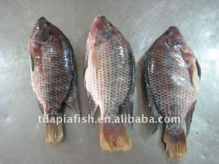 China Origin Tilapia Gutted And Scaled Fish