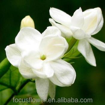 Natural flor del jazm n comprador plantas y flores para for Jazmin planta precio