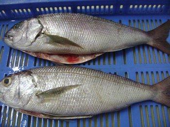 Download 78 Gambar Ikan Barramundi 3d HD Terbaru