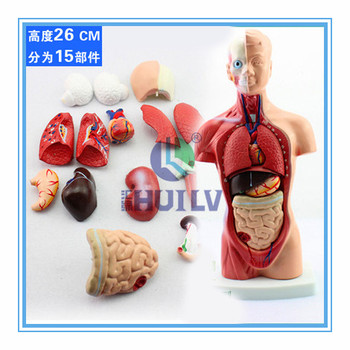 Laboratory anatomical model of human trunk in visceral organs with laboratory anatomical model of human trunk in visceral organs with heart system structure ccuart Choice Image