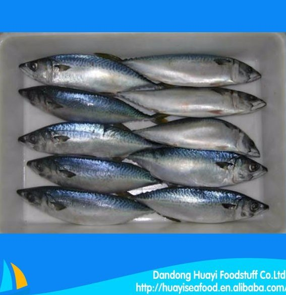export a lot of seafood frozen new fishing mackerel fish