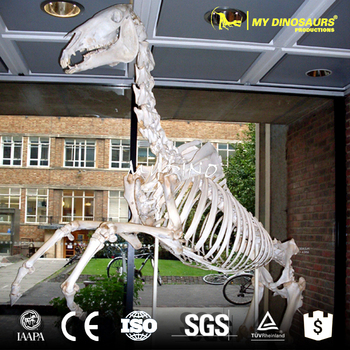 MY DINO-DSS055 Horse Skeletons Animal Skeleton