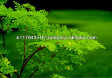 Moringa Seed Oil For Cosmetic Grade