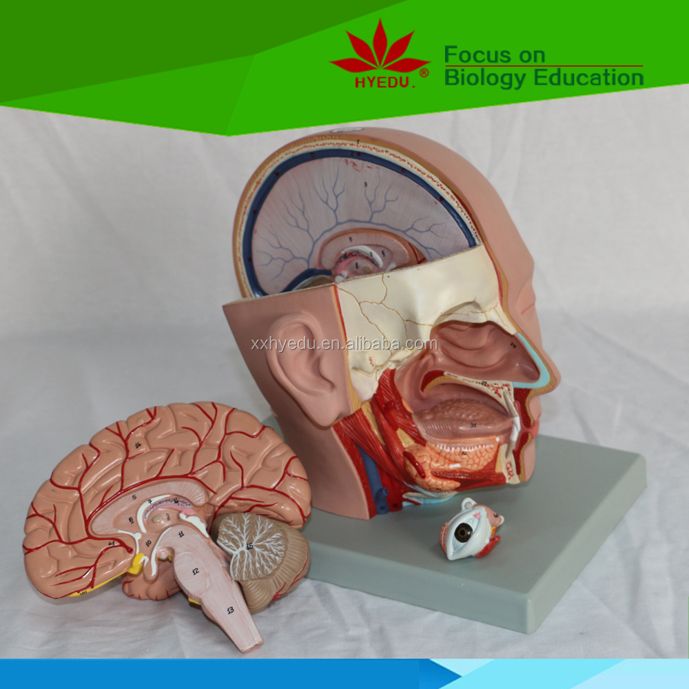 Head Anatomical Model With Brain (head Dissection Model (4 Parts ...