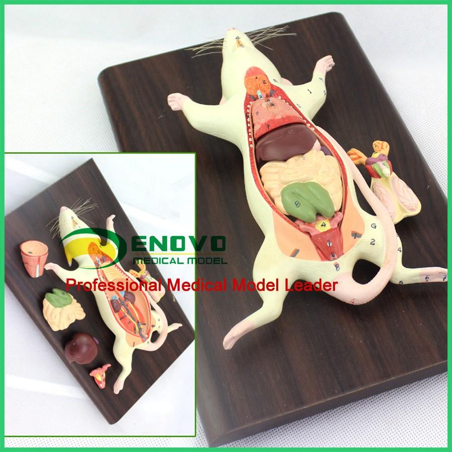 Enovo A01 (12001) Anatomía Animal 6 Piezas Rata Ratón Modelo W ...