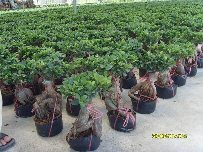 ginseng ficus bonsai33 in waren namen ginseng ficus size. Black Bedroom Furniture Sets. Home Design Ideas