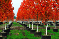Acer rubrum /Acerpalmatum/Japanese Maple tree seeds for planting