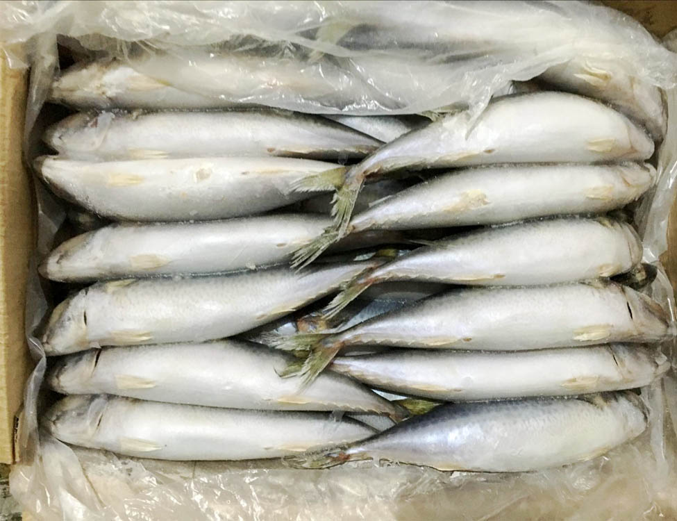 Fat Mackerel Frozen Mackerel 200-300g
