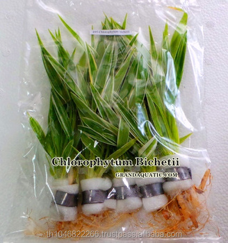 Chlorophytum Bichetii Live Aquatic Plants World / Ornamental Plants Thailand