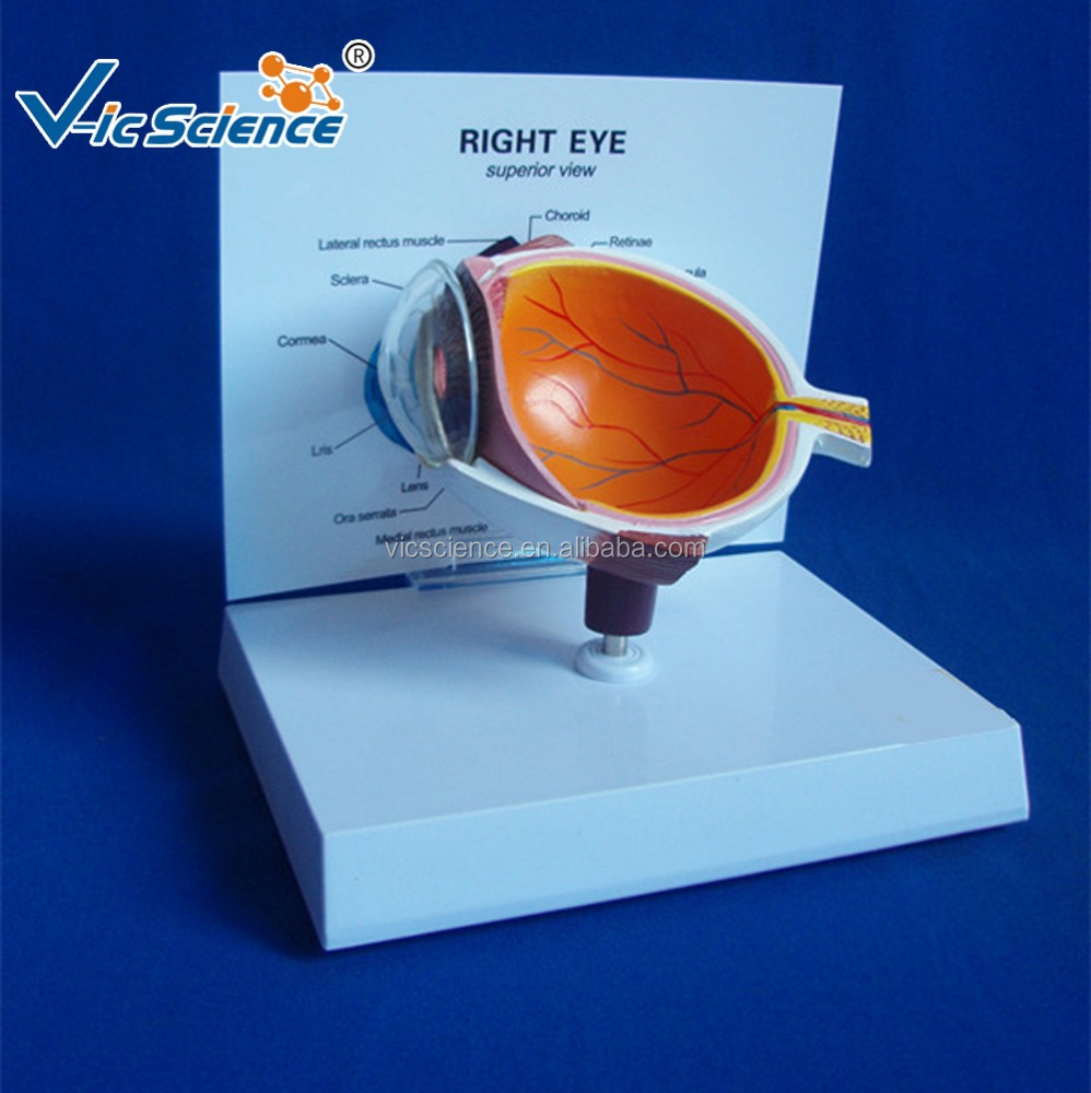 Eye Anatomy Model, Eye Anatomy Model Suppliers and Manufacturers at ...