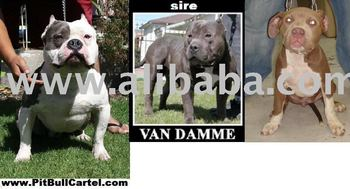 Pitbull Pit Bull Puppy Bully King Gotti Sire Van Damme Remyline Razor Edge  Gotti Remyline Champion Blood Line We Ship World Wide - Buy 2 Females