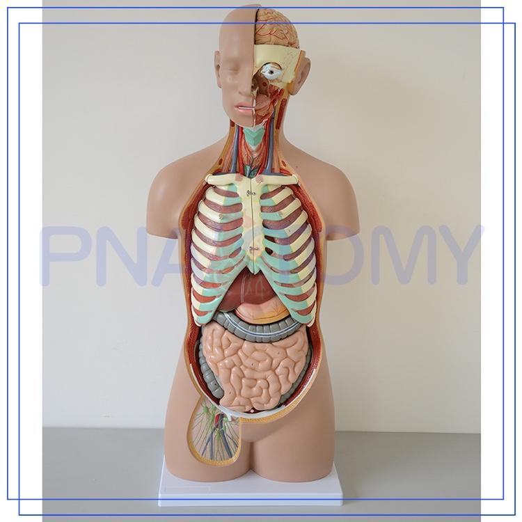 pnt-0311 85 cm 17 onderdelen anatomie van menselijk lichaam organen
