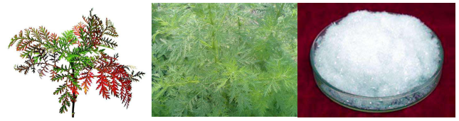 Malaria treatment by herbs, sweet wormwood extract Artemisinin powder