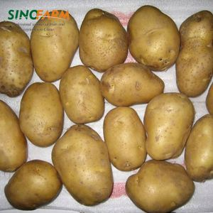 Potato export to dubai with high quality
