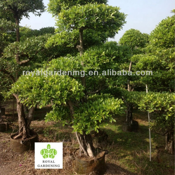 Ficus Bonsai Topiary Landscaping Tree Buy Ficus Bonsai