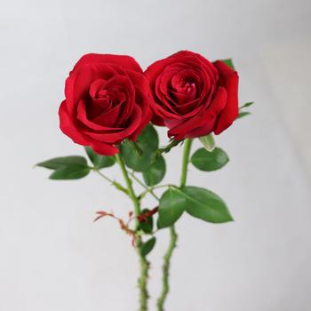 export ian roses fresh cut flowers roses jasmine flowers