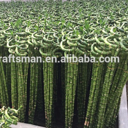 Farm price best sell indoor ornamental live aquatic twisted nature plants curly spiral lucky bamboo