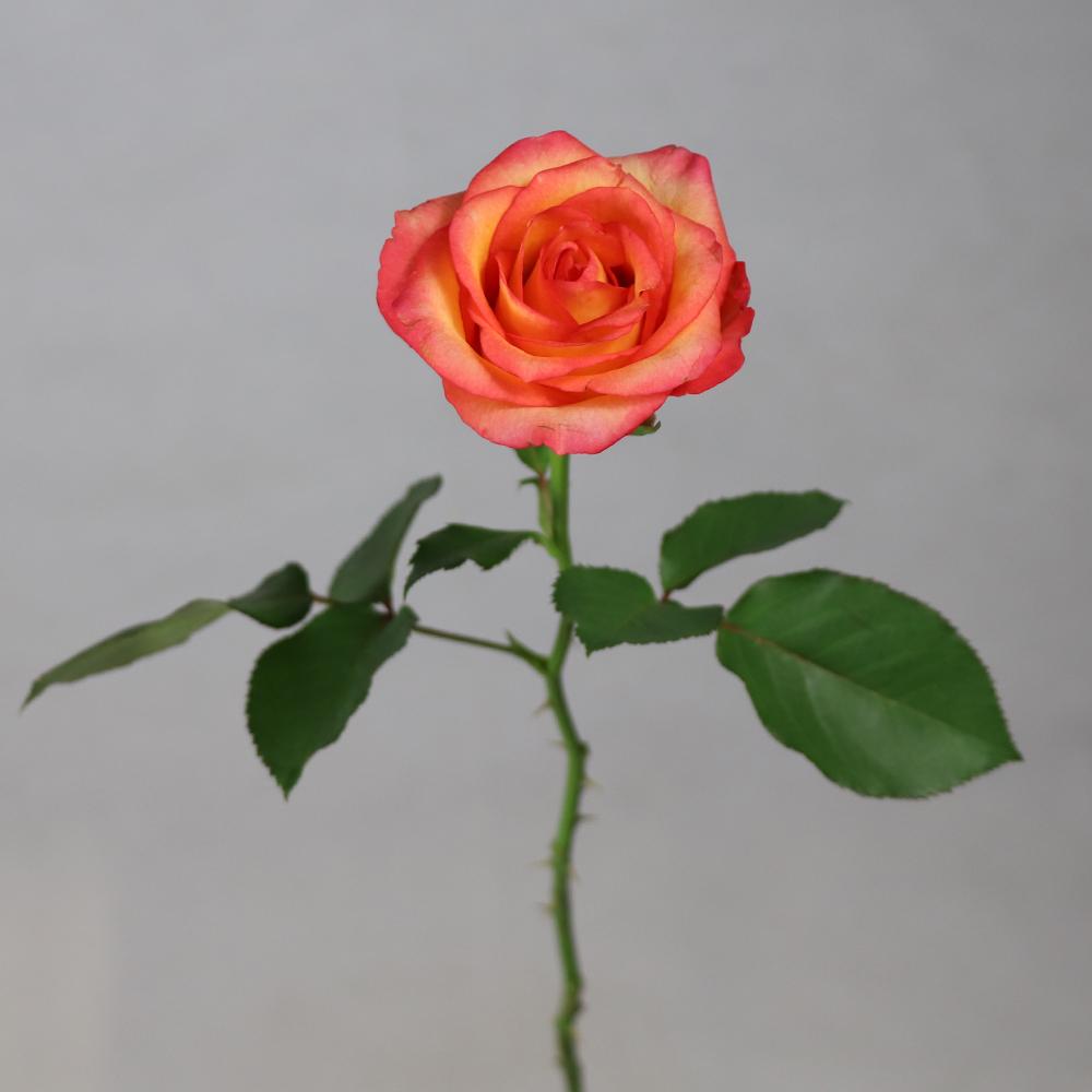 Fiori Rosa Nomi.Aroma Fragrante Nomi Di Fiori Usati Per La Decorazione Di Vendita
