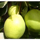 chinese green pear sweet pear crystal pear fruit