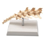 Hot Sale Animal Canine Anatomical Educational Dog Spine Model