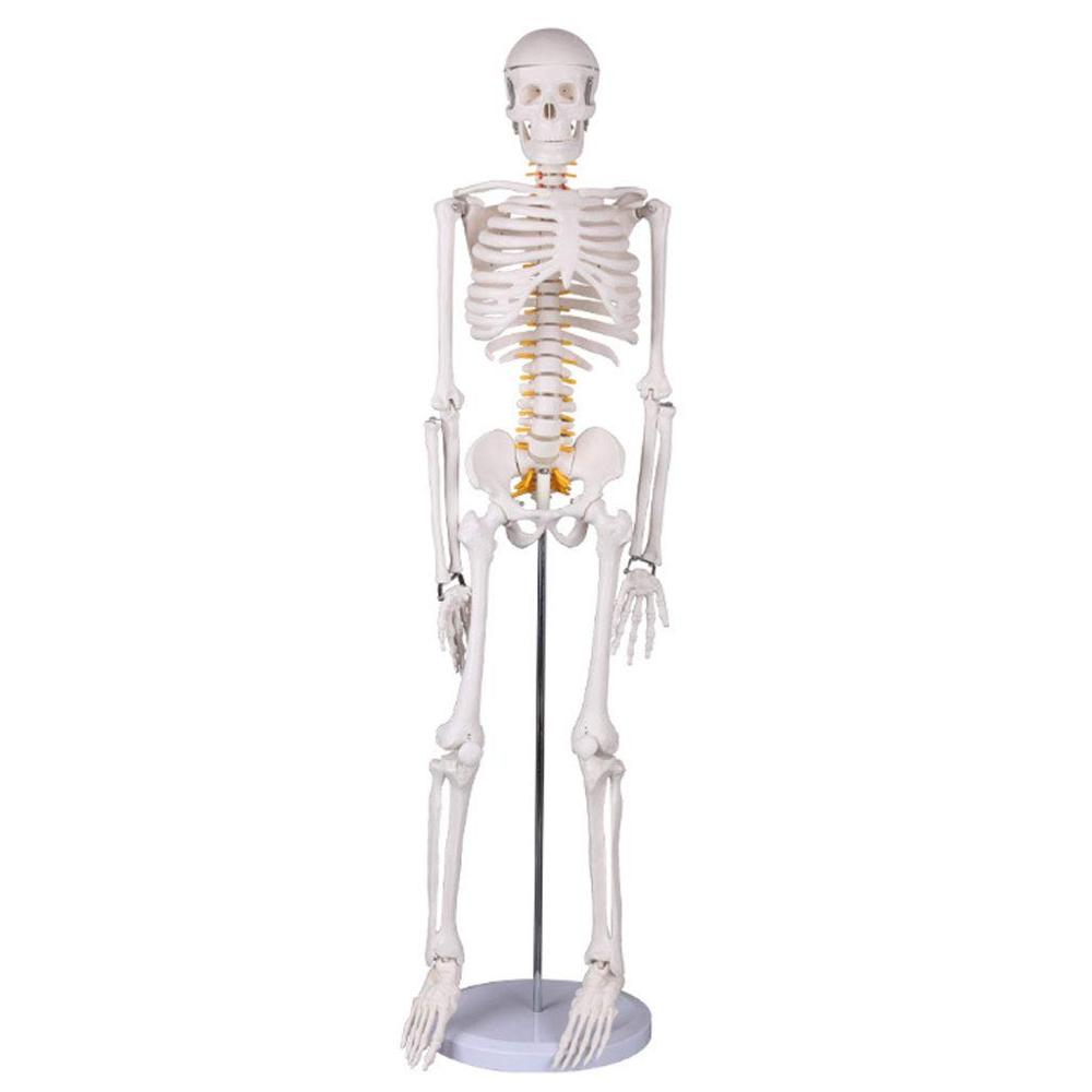 Standard Bone <strong>Model</strong> with Spinal Nerves 85Cm Human Skeleton <strong>Model</strong> with Bracket PVC Material Detachable Medical Teaching Equipment