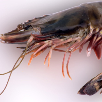 Giant-freshwater-prawn-river-shrimp