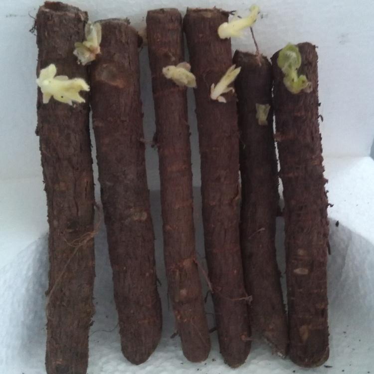 Nuevo tipo de corte de raíz de paulownia