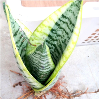 Wholesale Small Indoor Snake Plant Gloden Sansevieria