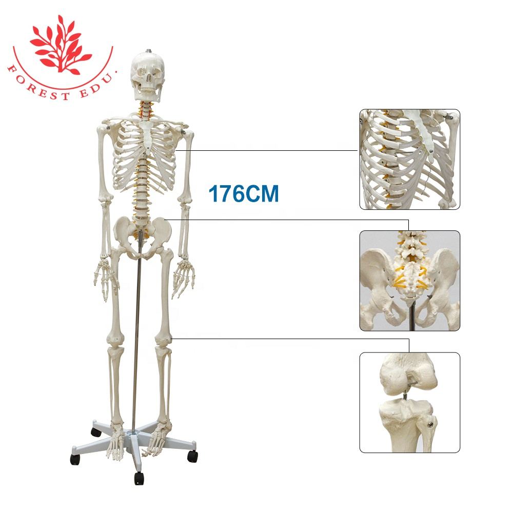 Natural Size Anatomical 3D 176cm Human Skeleton <strong>Model</strong>