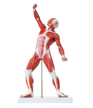 GelsonLab HSBM-152 Human Muscle Figure 50cm Mini Muscular System Model has Superficial Muscle Anatomy and Structure of body