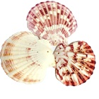 luxury scallop shell art crafting wholesale seashell craft supplies