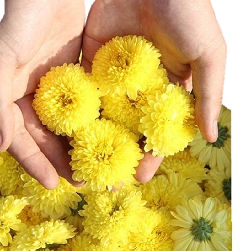 Healthy And Organic No Pollution Chrysanthemum Flower Green Tea - 4uTea | 4uTea.com