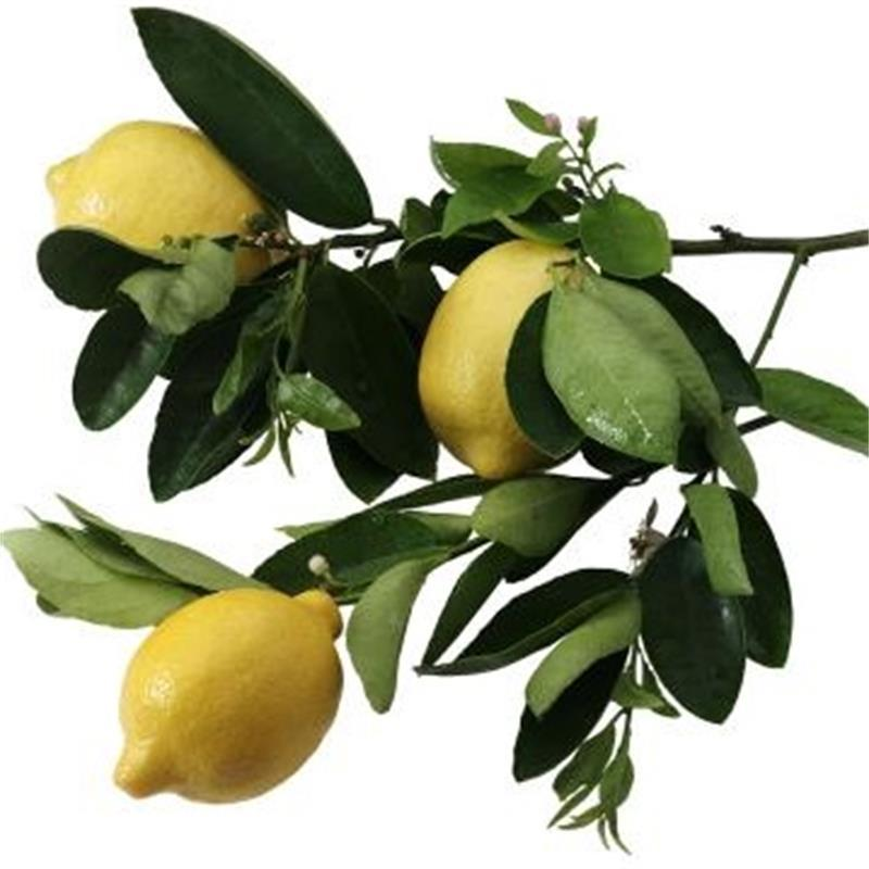 Fruit Bearing Lemon Tree Bonsais Buy Real Bonsai Tree Fruit Bearing Bonsais Lemon Plants Product On Alibaba Com